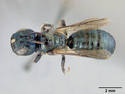 Image of <i>Ceratina neomexicana</i> Cockerell 1901