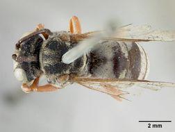 Image of <i>Triepeolus isocomae</i> Cockerell 1904