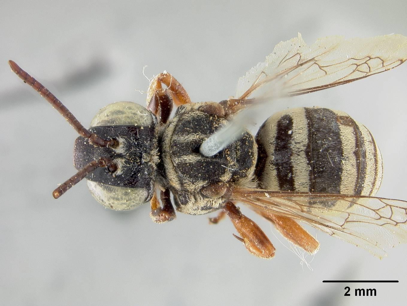 Image of <i>Triepeolus helianthi</i> var. <i>arizonensis</i> Cockerell
