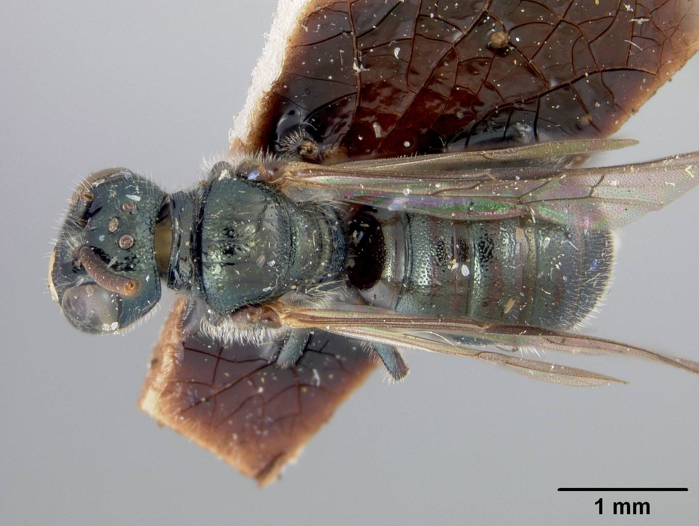 Image of <i>Ceratina submaritima</i> ssp. <i>ehrhorni</i> Cockerell