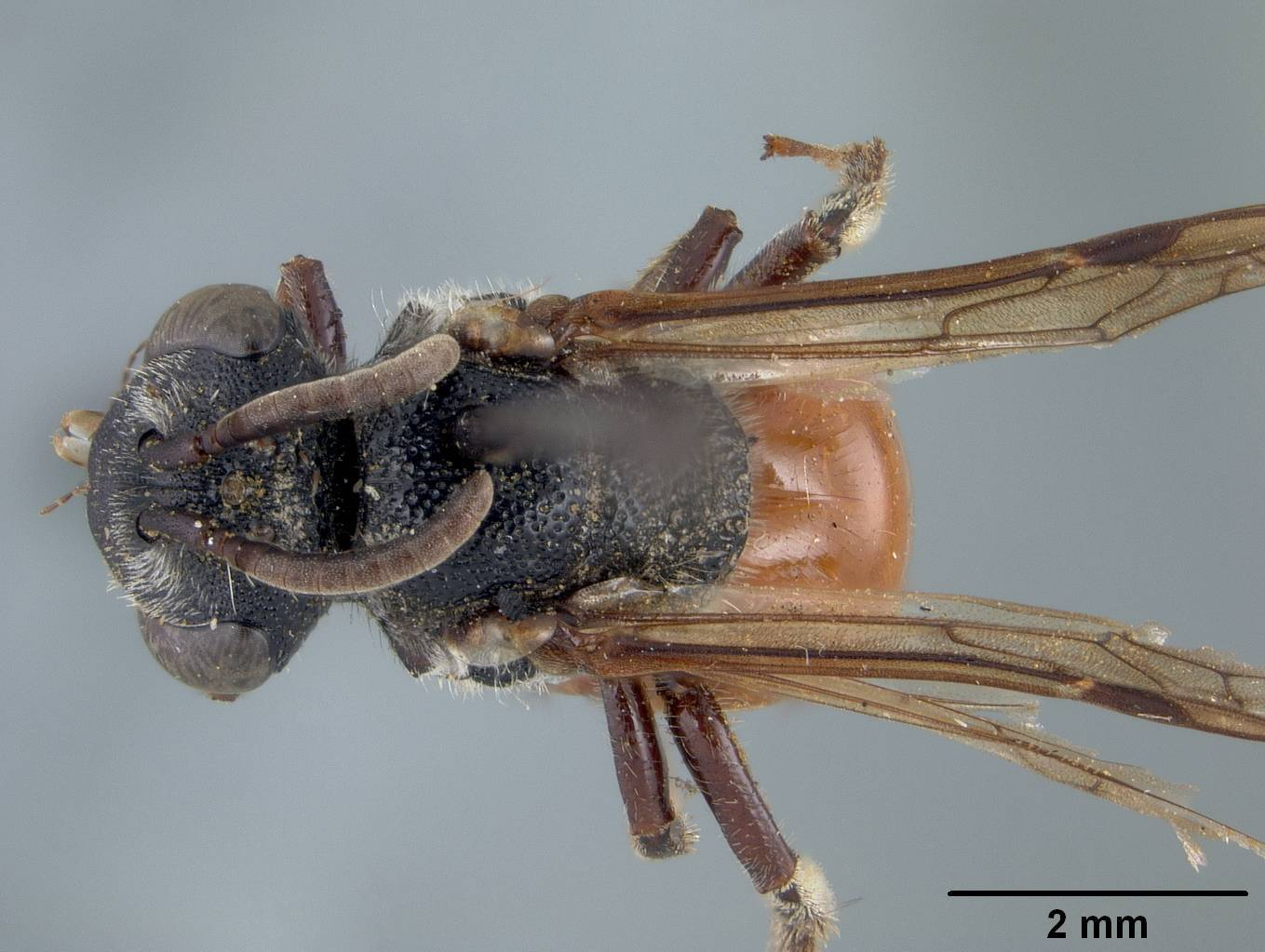 Image of <i>Sphecodes sibiricus</i> Cockerell