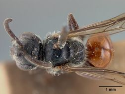 Image of <i>Sphecodes townesi</i> Mitchell 1956