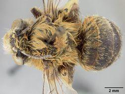 Image of <i>Anthophora retusiformis</i> Cockerell