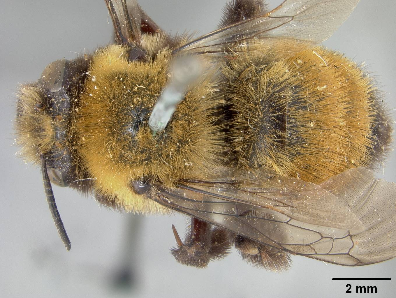 Image of <i>Anthophora bomboides</i> ssp. <i>neomexicana</i> Cockerell