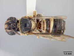 Image of <i>Ceratina cladura</i> Cockerell 1919