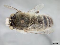 Image of <i>Anthophora leucorhina</i> Cockerell 1917
