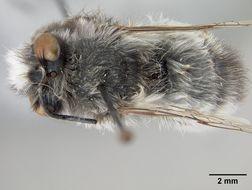 Image of <i>Anthophora connexiformis</i> Cockerell 1917