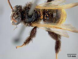 Image of <i>Exomalopsis callura</i> Cockerell 1912