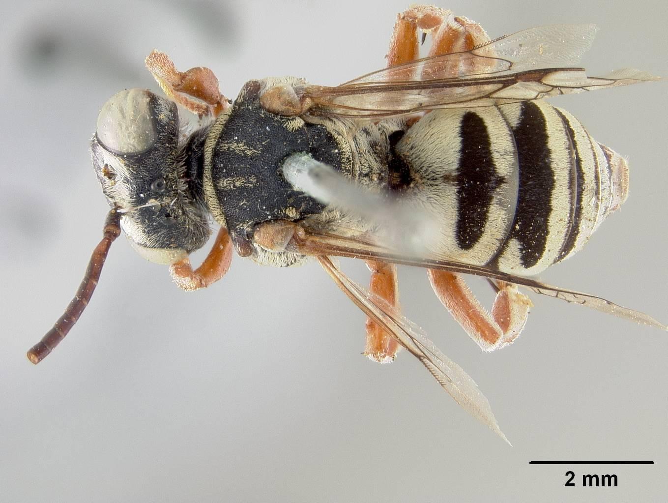 Image of <i>Triepeolus callopus</i> Cockerell 1905