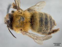Image of <i>Anthophora abjuncta</i> Cockerell 1922