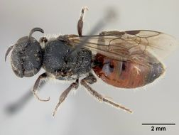 Image of <i>Sphecodes grahami</i> Cockerell 1922