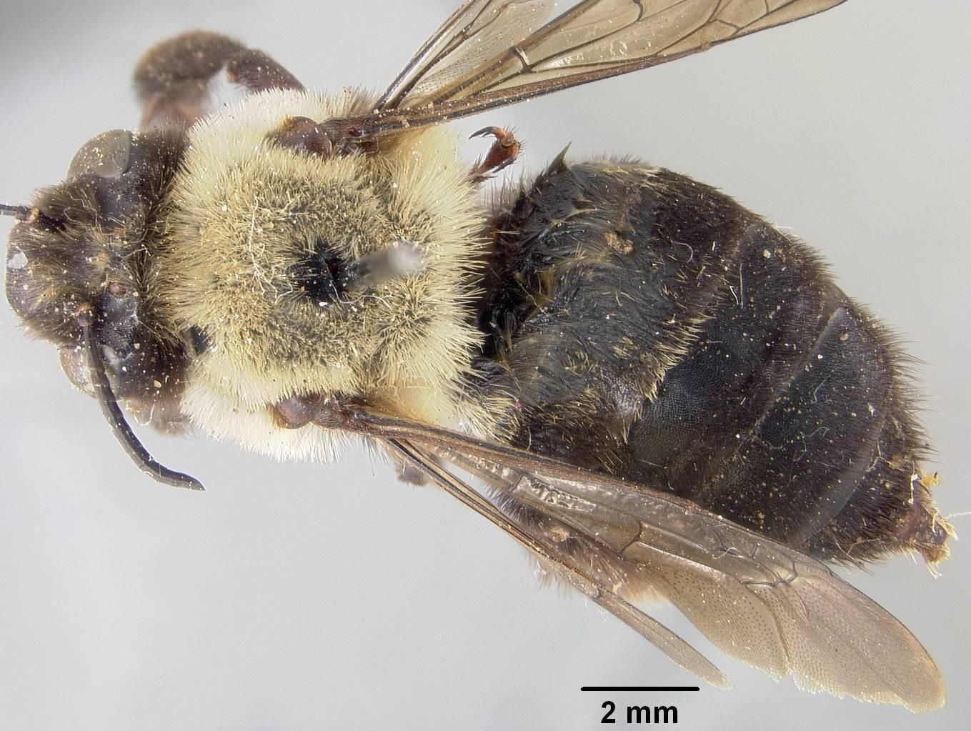 Image of <i>Anthophora raui</i> Rohwer