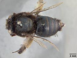 Image of <i>Anthophora corvicolor</i> Cockerell