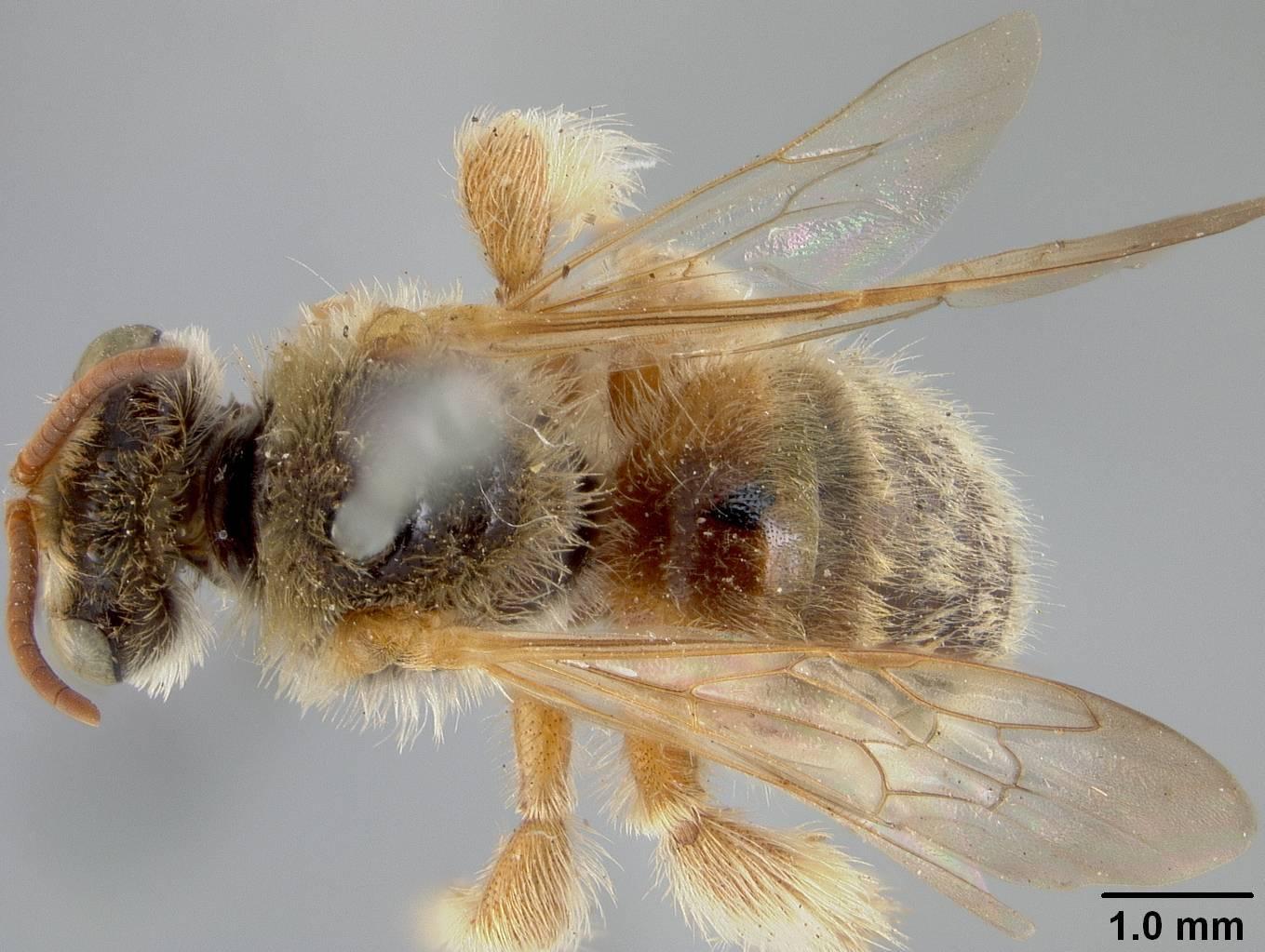 Image of <i>Exomalopsis snowi</i> Cockerell 1906