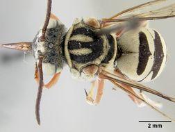 Image of <i>Triepeolus timberlakei</i> Cockerell 1929