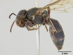 Image of <i>Euryglossa nigrocaerulea</i> Cockerell 1913