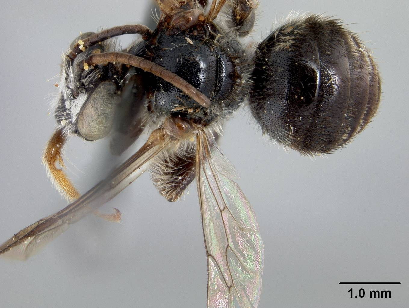 Image of <i>Exomalopsis cyclura</i> Cockerell 1938