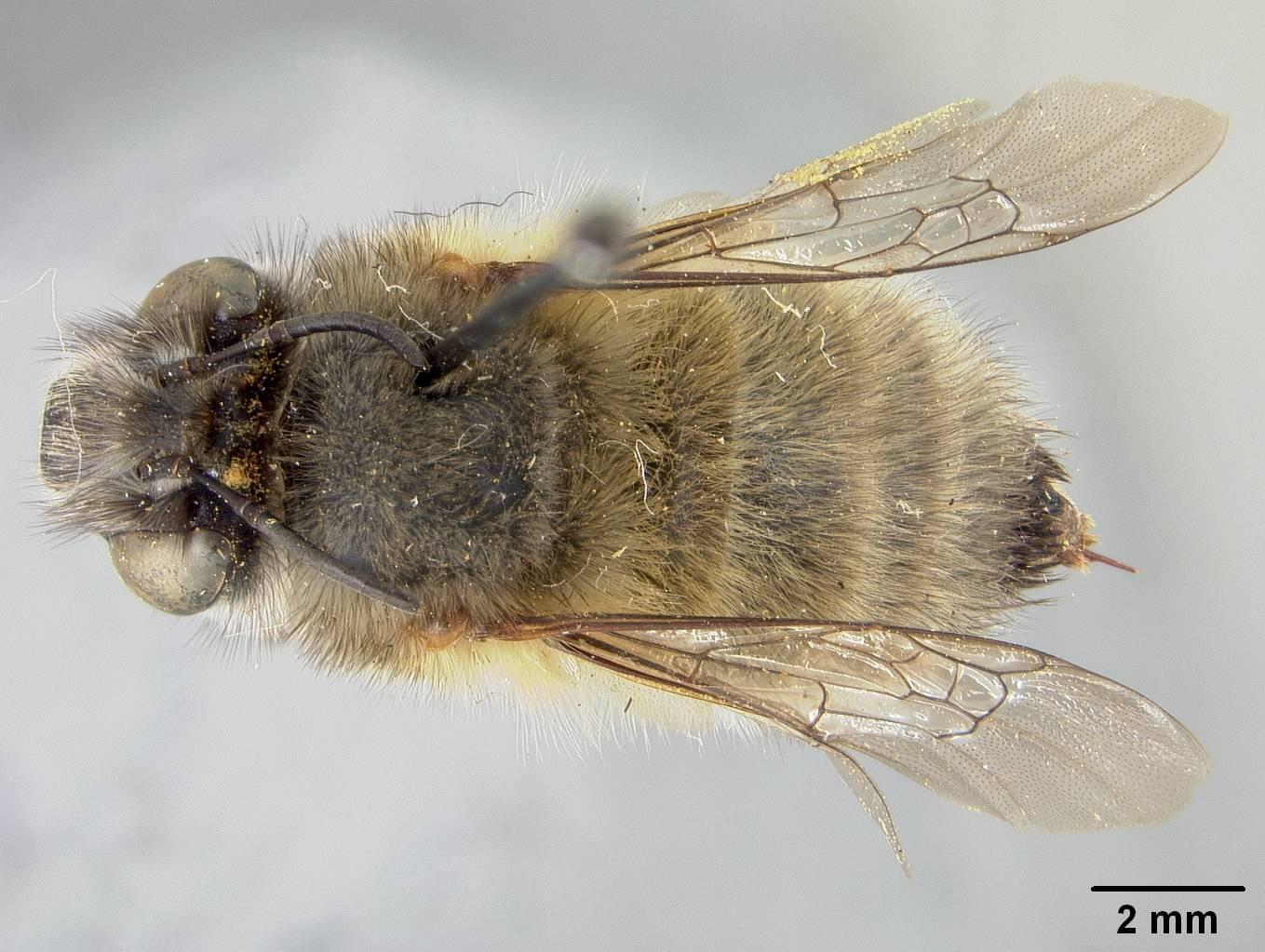 Image of <i>Anthophora acervorum</i> ssp. <i>lisbonensis</i> Cockerell
