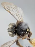 Image of <i>Exomalopsis azulensis</i> Cockerell