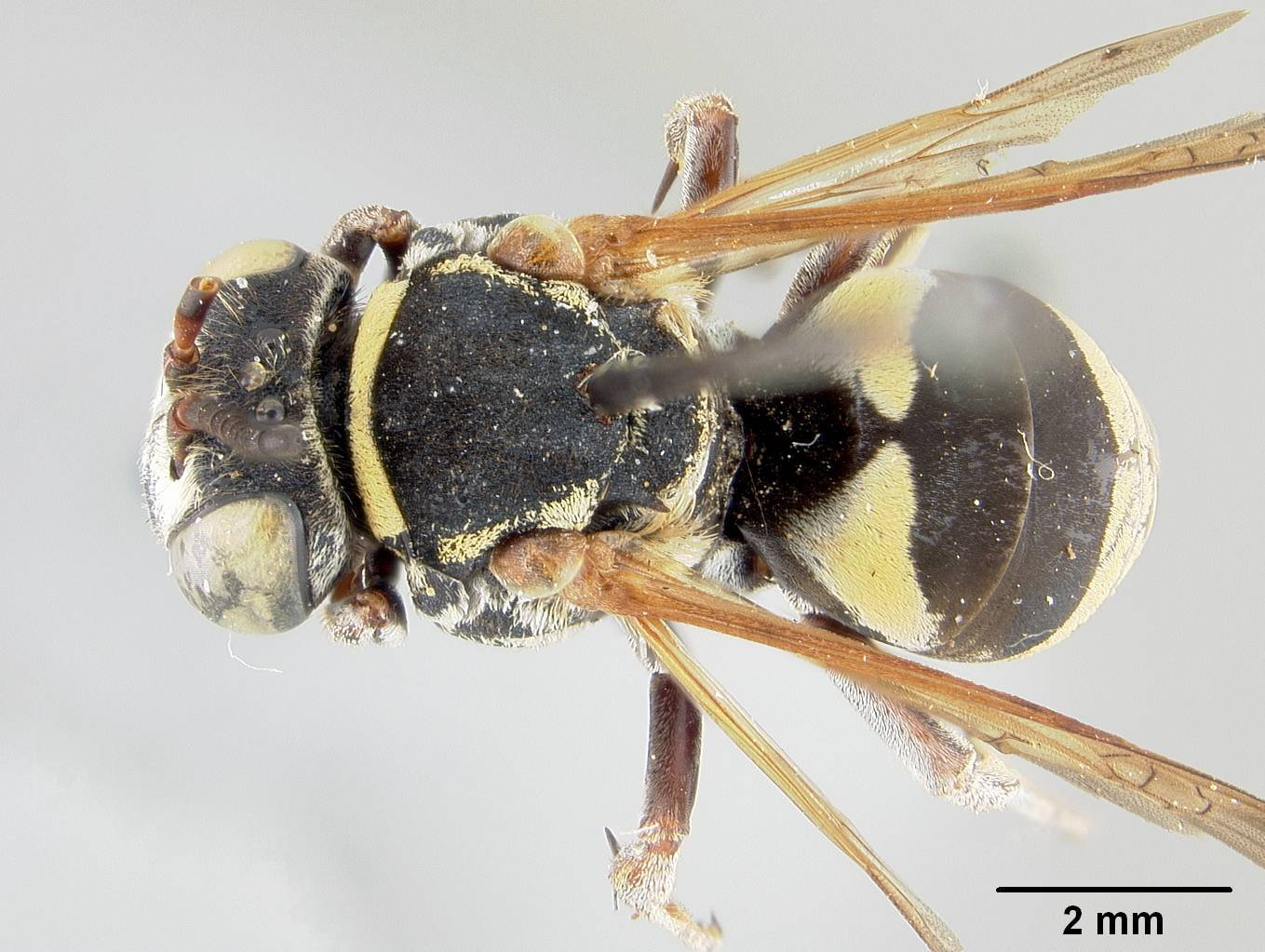 Image of <i>Triepeolus bilunatus</i> Cockerell 1949