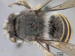 Image of <i>Anthophora popenoei</i> Cockerell
