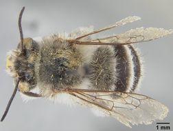 Image of <i>Anthophora vulpina</i> ssp. <i>pachypoda</i> Cockerell