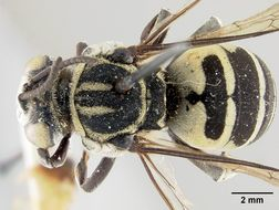 Image of <i>Triepeolus monardae</i> Mitchell 1962