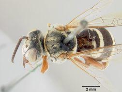Image of <i>Triepeolus denverensis</i> Cockerell 1910