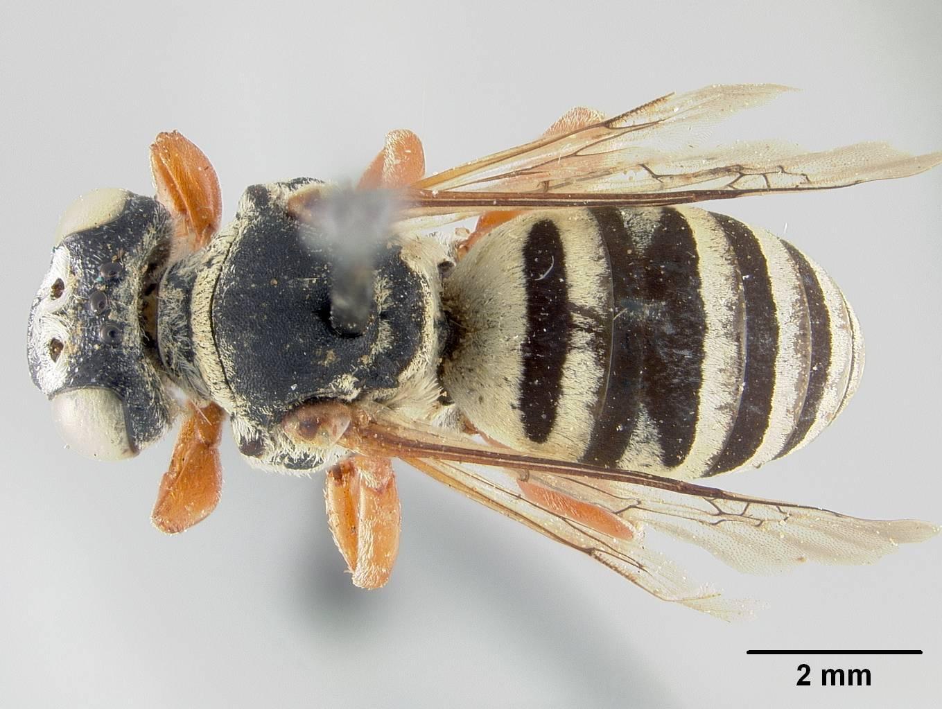 Image of <i>Triepeolus custeri</i> Cockerell 1926