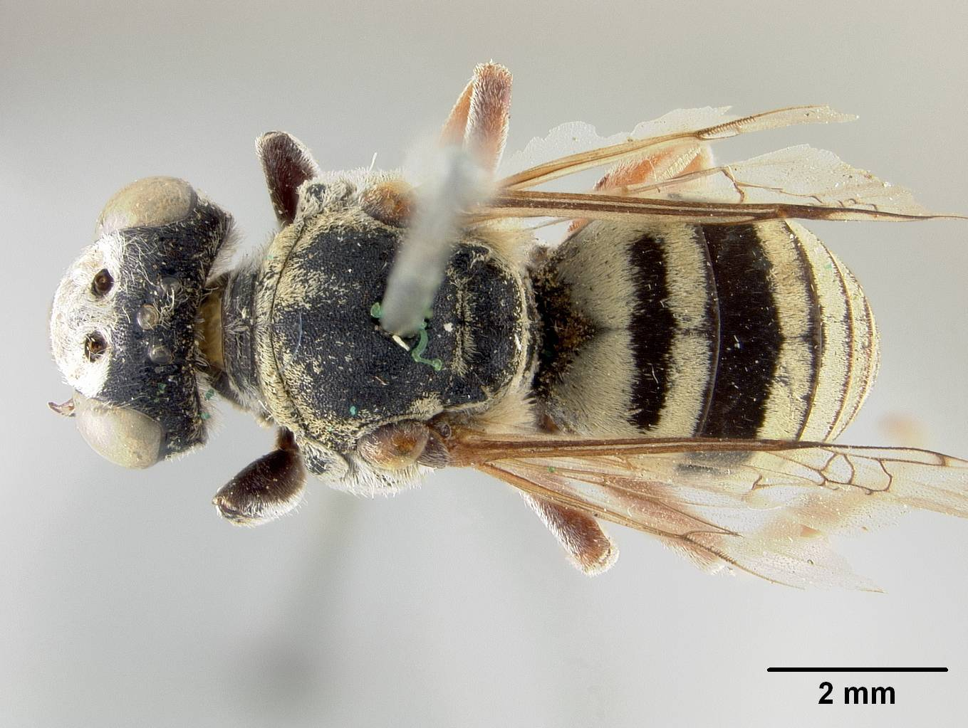 Image of <i>Triepeolus rohweri</i> Cockerell 1911