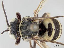 Image of <i>Triepeolus tanneri</i> Cockerell 1928