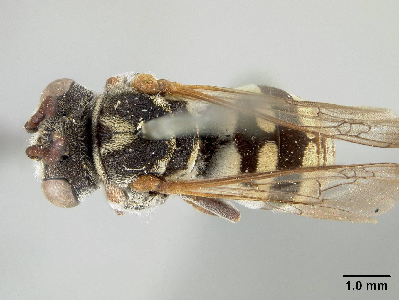 Image of <i>Triepeolus gabrielis</i> Cockerell