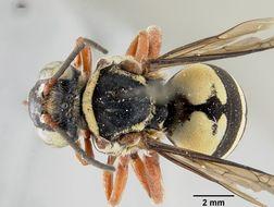 Image of <i>Triepeolus quadrifasciatus atlanticus</i> Mitchell 1962