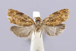 Image of <i>Eucosmomorpha nearctica</i> Miller