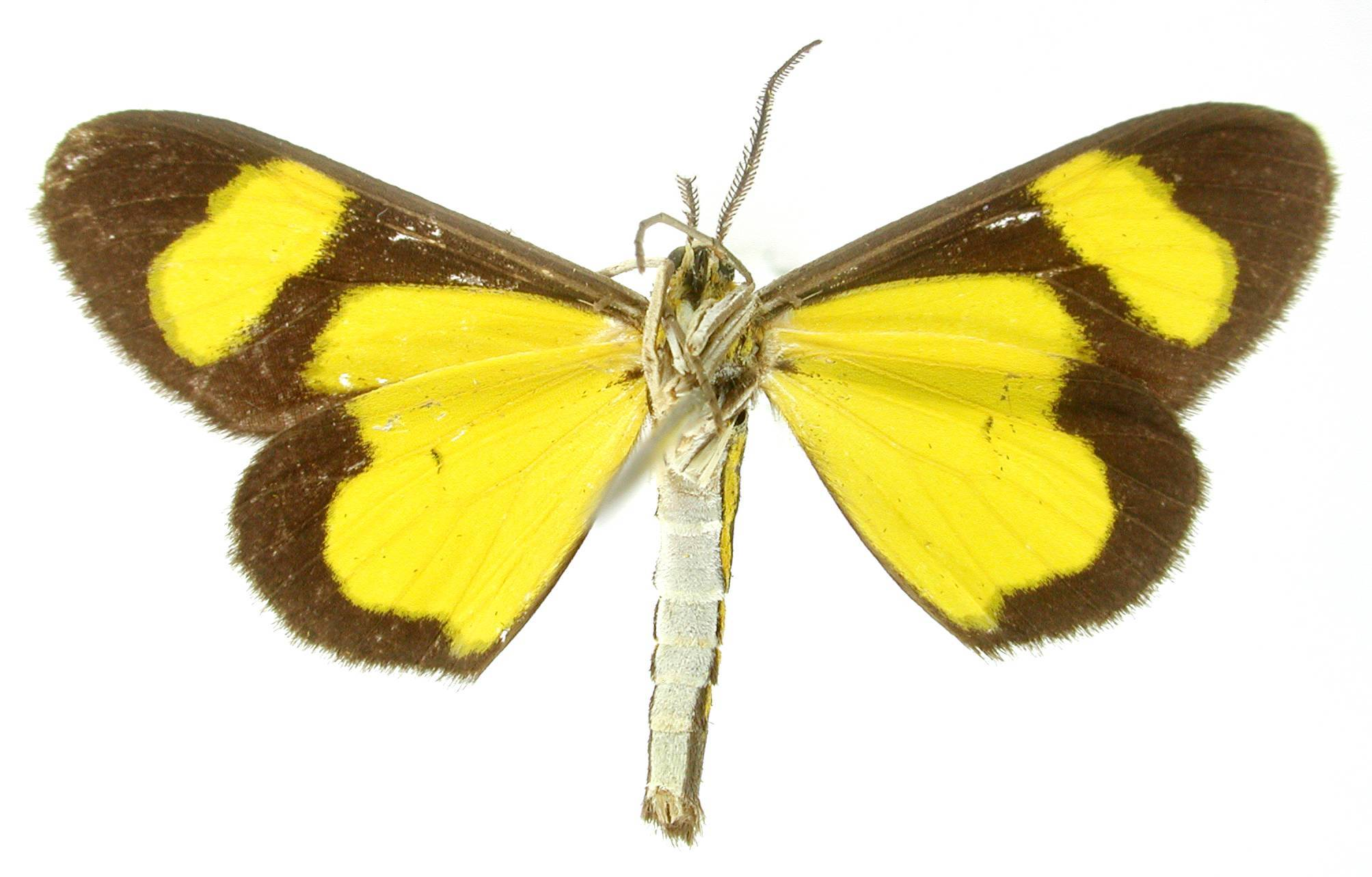 Image of <i>Cyllopoda bipuncta</i> Warren 1906