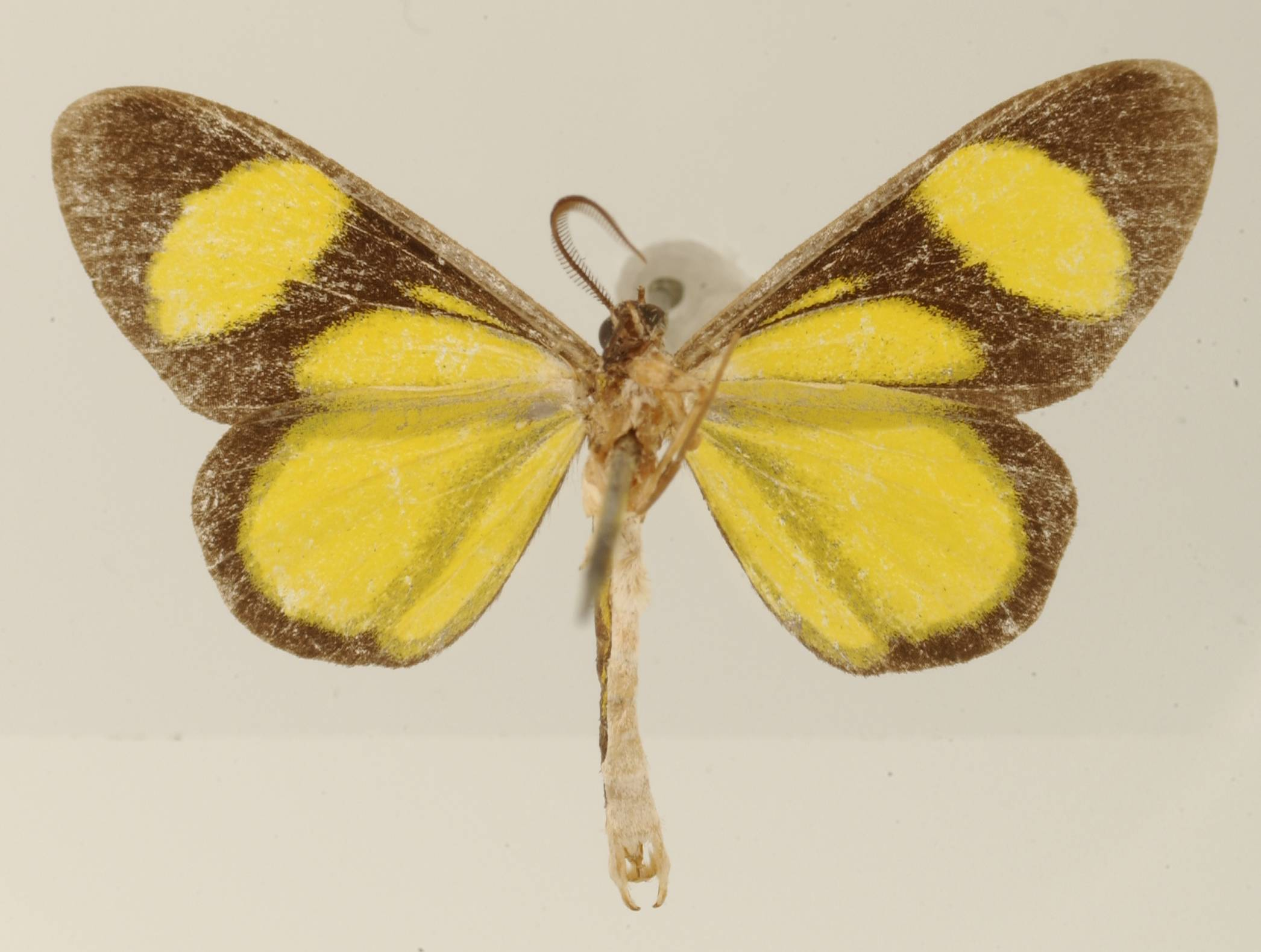 Image of <i>Cyllopoda radiata</i> Warren 1906