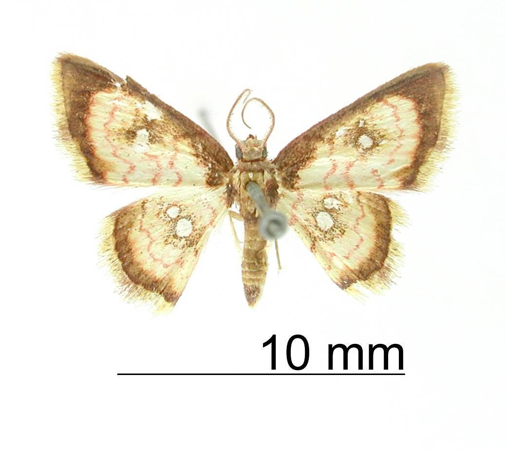 Image of <i>Tricentra brunneomarginata</i> Warren 1906