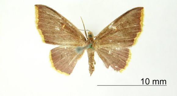 Image of <i>Tricentra flavistigma</i> Warren