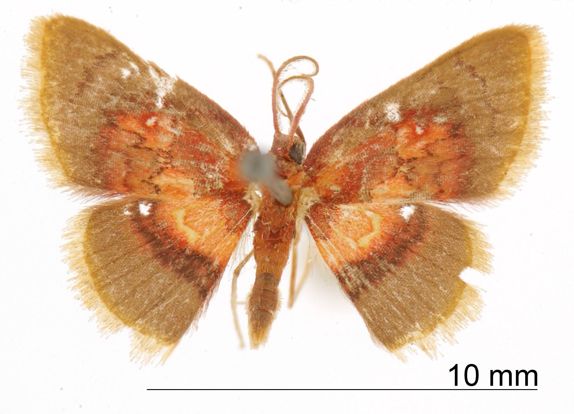 Image of <i>Tricentra ignefumosa</i> Warren 1906