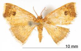 Image of <i>Tricentra percrocea</i> Warren 1906