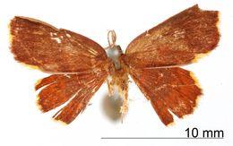 Image of <i>Tricentra vinosata</i> Warren 1906