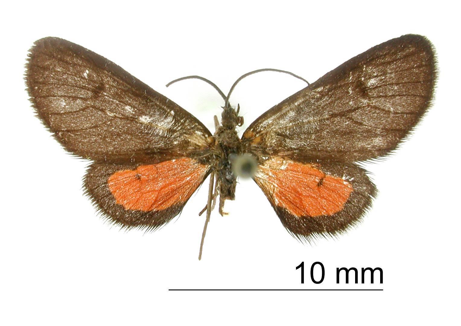 Image of <i>Eudule basipuncta</i> Warren 1906