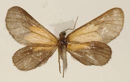 Image of <i>Eudule parca</i> Warren 1906