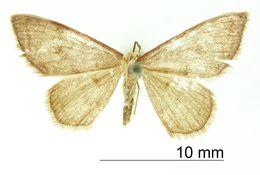 Image of <i>Crypsityla borrigaria</i> Warren