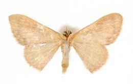 Image of <i>Crypsityla ignifera</i> Warren
