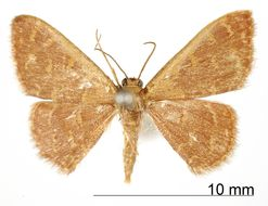 Image of <i>Crypsityla subrubella</i> Warren