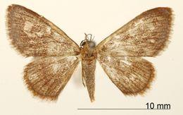 Image of <i>Crypsityla turbata</i> ssp. <i>purpurata</i> Warren