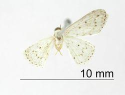 Image of <i>Emmiltis blandula</i> Warren