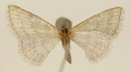 Image of <i>Emmiltis tricincta</i> Warren