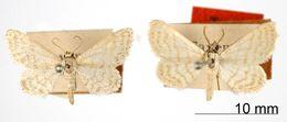 Image of <i>Lobocleta translineata</i> Warren 1906